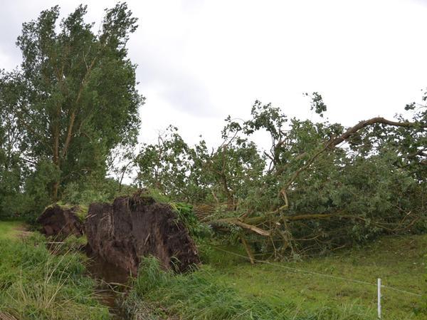 Seit rund 60 Jahren steht eine Allee mit 20 Pappeln auf einer Weide von Hildegard Günzel in Beerbach. Nun hat der Sturm sieben davon umgefegt.