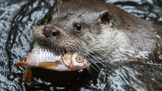 Furcht vor Fischottern geht um