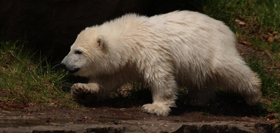 Das wohl berühmteste Kind des Nürnberger Tiergartens, Eisbär Flocke, feierte im Dezember seinen sechsten Geburtstag:  Vom süßen, kleinen Eisbär Flocke, 2007 geboren, ist allerdings nicht mehr viel übrig geblieben. Das Tier hat sich zu einem weißen Giganten entwickelt und lebt mittlerweile in Antibes in Frankreich.