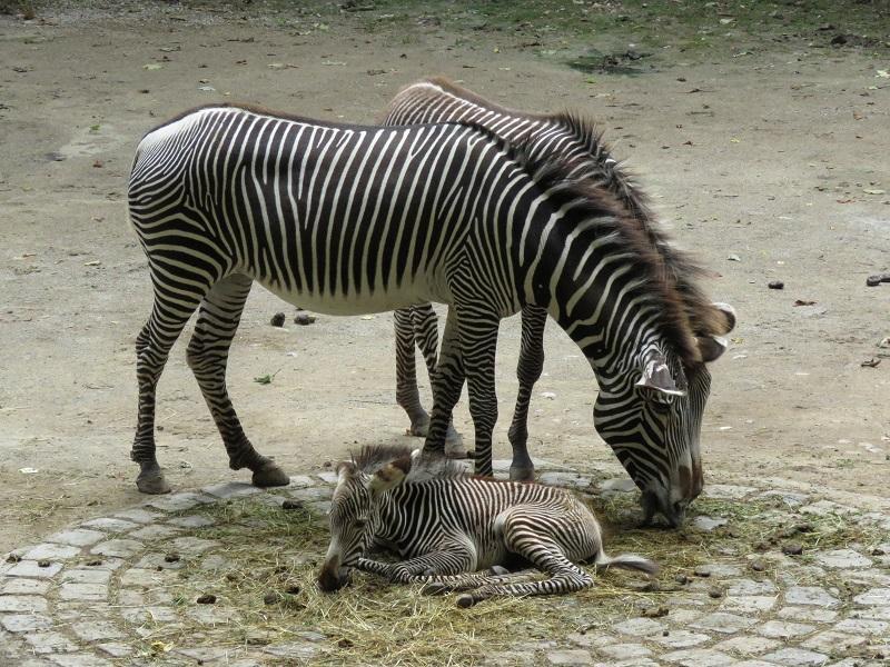 Zebras leben in verschiedenenRegionen Afrikas. Es gibt drei Arten: Bergzebra, Grevyzebra und Steppenzebra.