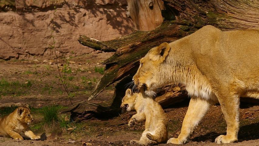 Mit ihren 19 Jahren musste das  Asiatische Löwenweibchen Keera am 3. September 2018 altersbedingt eingeschläfert  werden. Ihre ersten Lebensjahre verbrachte sie in ihrem Geburtsland Großbritannien. Im Januar 2002 bezog die Löwin dann ihr Gehege im Tiergarten Nürnberg. Zusammen mit ihr kam auch ihr Lebensgefährte Thar in die fränkische Metropole. Das Bild zeigt Keera mit ihren Jungtieren im Jahr 2006. Thar war bereits im Februar 2018 gestorben.