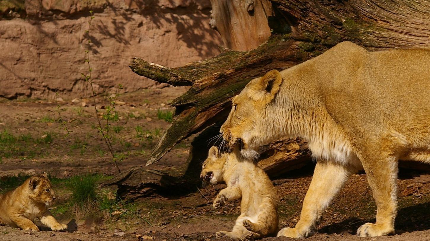 Die Löwenmutter Keera im Jahr 2006 mit ihren Jungtieren.