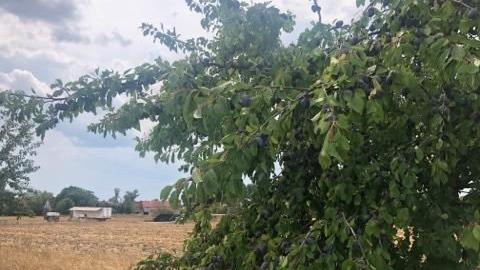 Und weiter geht's - leider durch freies Feld, mit einer geballten Ladung Sonne Richtung Ipsheim, vorbei an erntereifen Früchten - Menschen? Fehlanzeige. Bei dem Wetter kein Wunder...