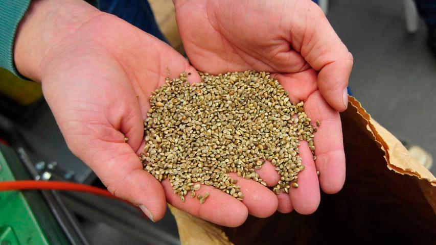 Und aus ihnen wird das Hanföl gemacht: Die Samen können nach dem Dreschen weiter verarbeitet werden. Sie sind sozusagen Träger der Proteine und gesunden Fette.