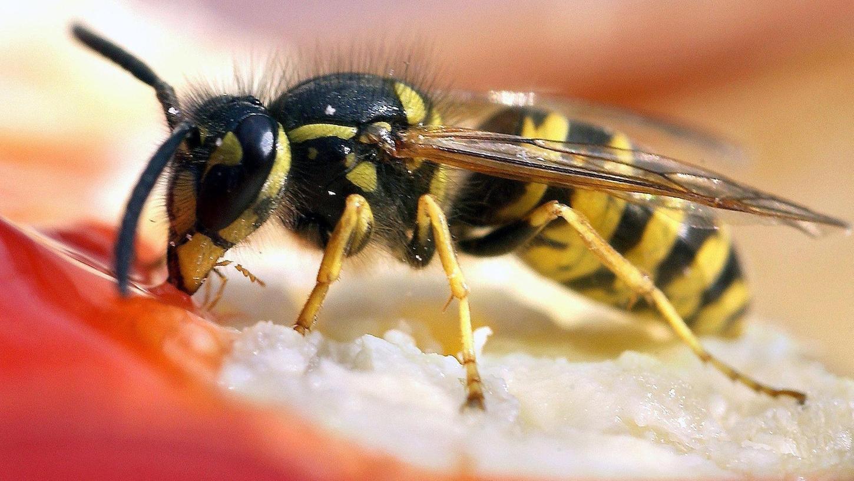 Brötchen mit Erdbeerkonfitüre: Was Menschen schmeckt, lockt zurzeit auch oft die Wespen an.