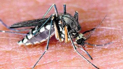 «Blutsauger» bei der Arbeit. Viele Insekten lassen sich von Chemie nicht mehr erschrecken.