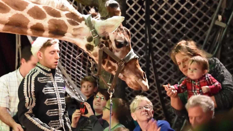 Giraffe Schakira beschnuppert die Zuschauer: Der Circus Voyage bringt exotische Tiere sowie eine große Wasser-Manege mit und führt bis Sonntag sein Programm in Berching auf.