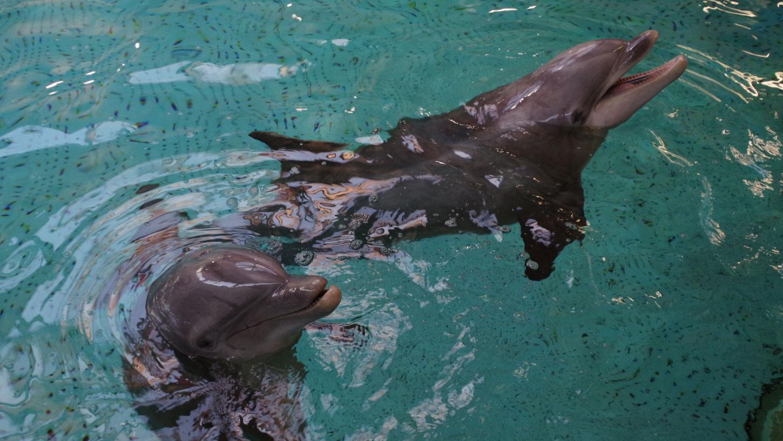 Delfinweibchen Nynke ist nach zehn Jahren in den Tiergarten der Stadt Nürnberg zurückgekehrt. Am Tag ihrer Ankunft schwimmt Nynke (rechts) mit Delfinweibchen Jenny in einem Becken der Delfinanlage.