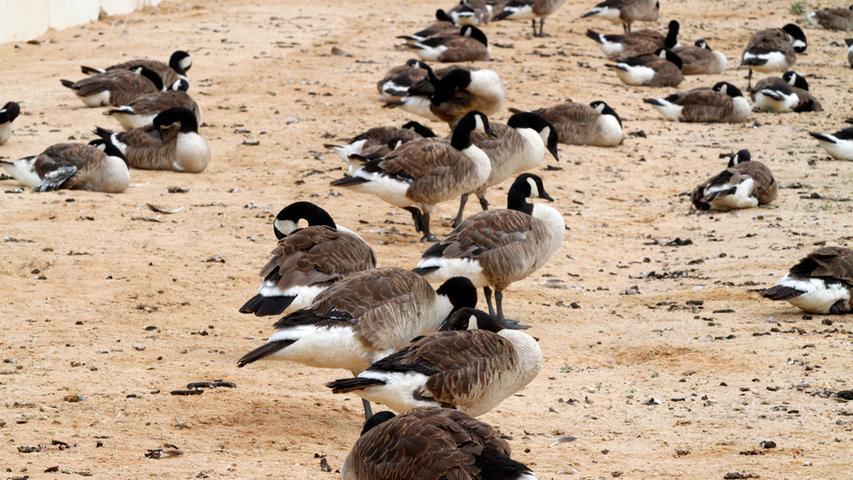 Die Vögel versammeln sich an gut zu sichernden Stellen wie den Badestränden am Wöhrder See.