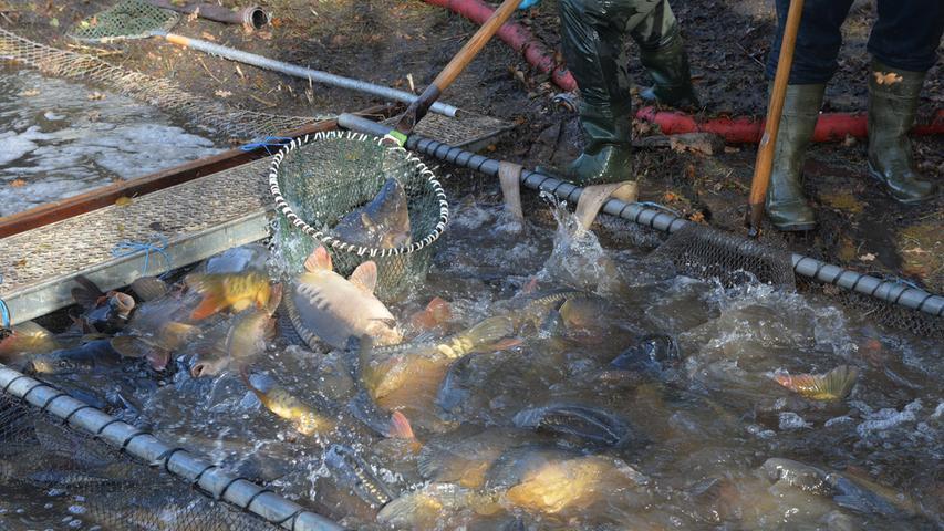 Rund 300 Zentner Karpfen und noch etliche andere Fische sind aus dem Kleinen Bischofsweiher in Dechsendorf abgefischt worden.Im Röttenbach werden die abgefischten Fische zwischengelagert, um dann in Spezialbehältern zu den Kunden gefahren zu werden. .Foto: Klaus-Dieter Schreiter
