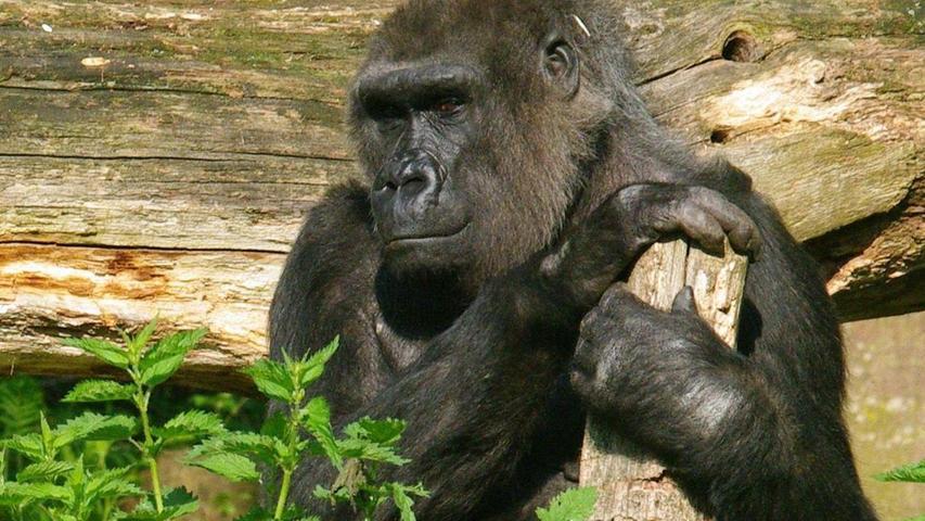 Im Nürnberger Affenhaus wurde am 8. November 2018 die 46-jährige Gorilladame Bianca  altersbedingt eingeschläfert, das viertälteste von insgesamt 240 Gorillaweibchen in Europa. Die