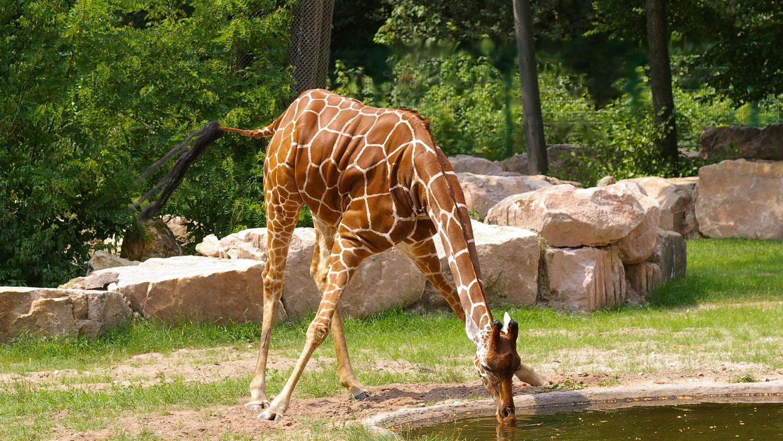 Nach wochenlangen Schmerzen beim Auftreten musste Giraffe Lilli eingeschläfert werden.