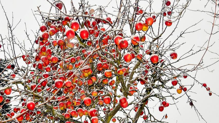 Die Reste eines fruchtbaren Sommers: Dieser Apfelbaum hängt noch voller Früchte.