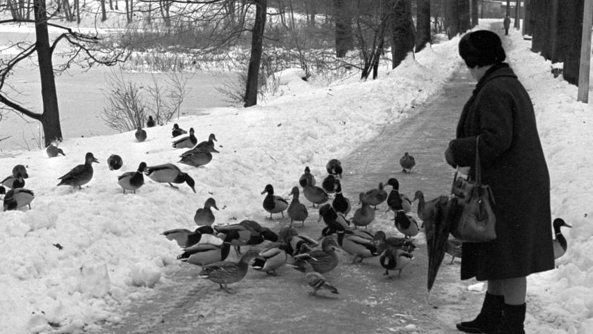Im Nu scharen sich die zutraulichen Enten vom Dutzendteich um Menschen, die es gut mit ihnen meinen und Futter bringen. Hier geht es zum Kalenderblatt vom 6. Januar 1969: Hilfe für die Tiere