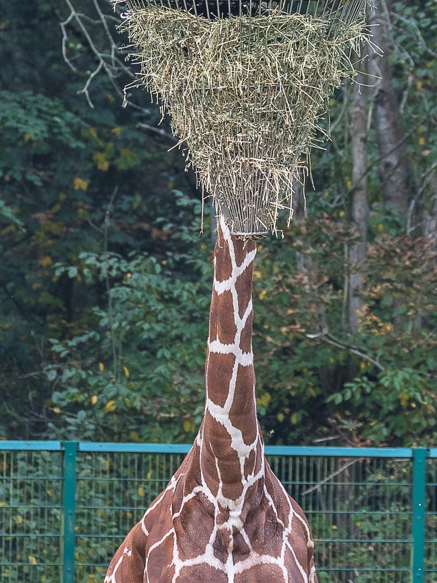 Eine kopflose Netzgiraffe im Tiergarten beim Fressen.