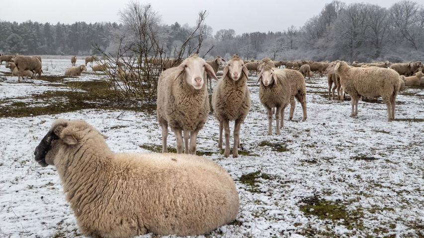 Die Schafe am Hainberg trotzen dem Winterwetter