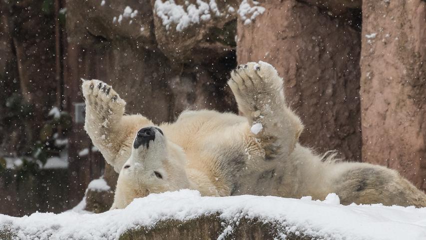 Eisbärin Vera genießt im Tiergarten den Winter.
