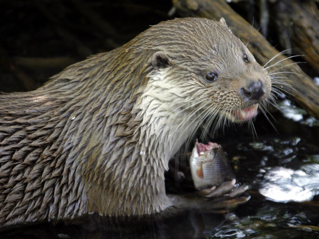 ARCHIV - Ein Fischotter verspeist im Heimat-Tierpark Kunsterspring (bei Neuruppin) einen Fisch (Archivfoto vom 08.05.2008, Illustration zum Thema Artensterben). Nach dem massiven Rückgang der biologischen Vielfalt in den 1980er und 1990er Jahren gibt es derzeit nach Angaben der Umweltstiftung WWF eine kurze Atempause beim Artensterben. Erstmals seit Mitte der 1970er Jahre sei der Index für die biologische Vielfalt nicht weiter gesunken, heißt es in dem neuen Bericht «Living Planet Index 2008», den der WWF (World Wide Fund for Nature) am Freitag (16.05.2008) vor Beginn des UN-Naturschutzgipfels in Bonn vorstellte. Insgesamt sei die biologische Vielfalt von 1970 bis 2005 jedoch um 27 Prozent gesunken. Arten wie der Fischotter seien stark bedroht. Foto: Bernd Settnik (zu dpa 0257 vom 16.05.2008) +++(c) dpa - Bildfunk+++   Verwendung weltweit