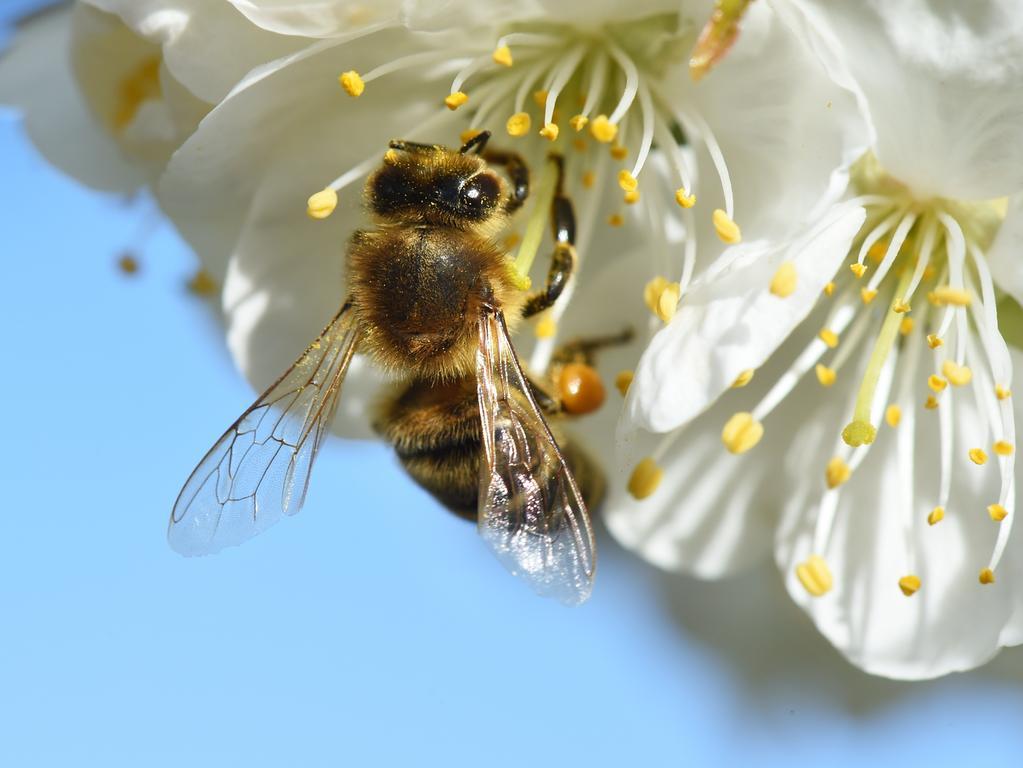dpatopbilder Eine Biene leckt am 14.04.2015 in Tettnang (Baden-Württemberg) Nektar aus einer Kirschblüte. Vor wenigen Tagen hat am Bodensee die Kirschblüte begonnen. Foto: Felix Kästle/dpa +++(c) dpa - Bildfunk+++   Verwendung weltweit Free Space;