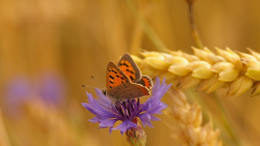 Die Zahl der Bienen hat in Deutschland zuletzt wieder zugenommen, weil sich immer mehr Menschen für Imkerei interessieren. Schlecht steht es hingegen um viele Wildbienenarten, Hummeln und auch Schmetterlinge, die ebenfalls wichtige Bestäuber sind. Von den 3.700 Schmetterlingsarten in Deutschland sind 50 Prozent gefährdet, zwei Prozent sind bereits ausgestorben, so die Deutsche Wildtier Stiftung.