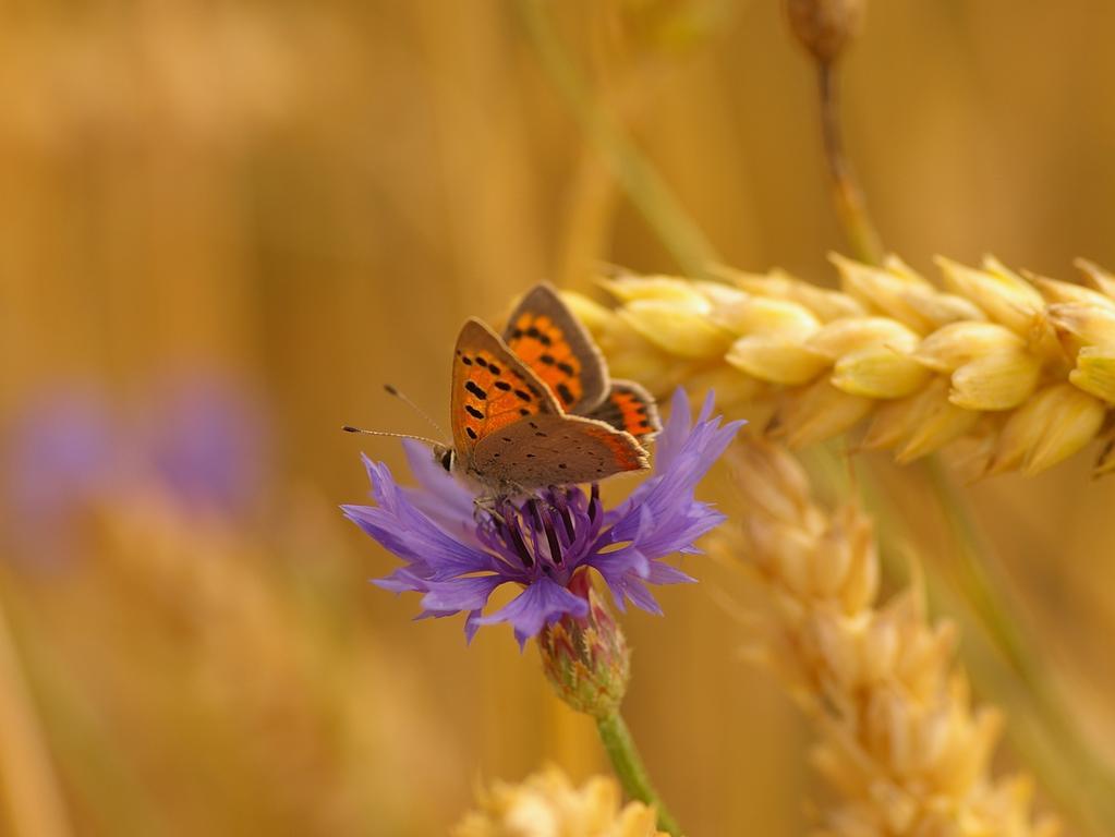 Getreidefeld bei Wilhermsdorf:.Da sage noch einer, unsere moderne Landwirtschaft lasse keine Natur zu. .Blumen und Schmetterling in einem Getreidefeld bei Wilhermsdorf.Foto: Heinz Wraneschitz