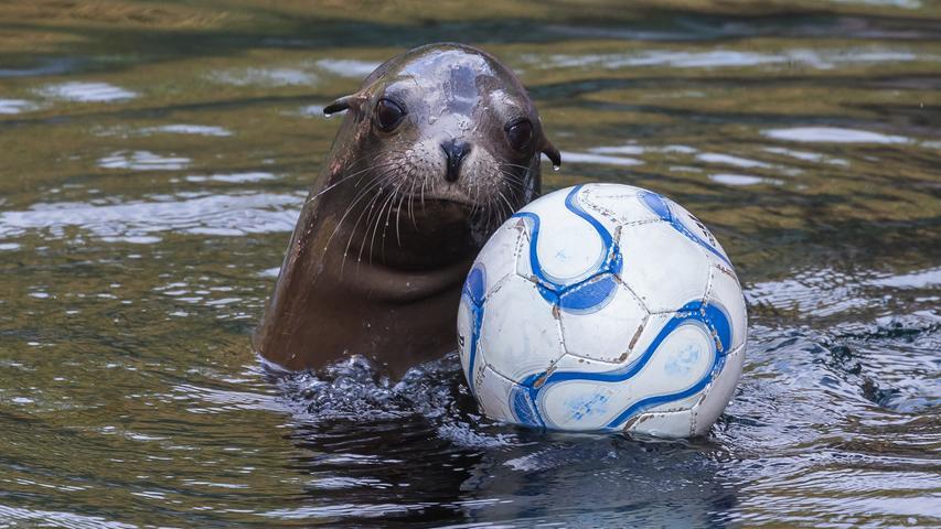Geradezu professionell posiert dieser Kalifornische Seelöwe im Tiergarten mit seinem Ball.