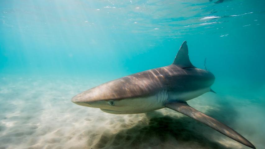 Ein Meeresbewohner, der vielen Menschen Angst macht. Der Hai. Hier fotografiert vor der Küste Israels.