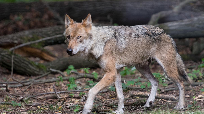 Ein Video von einem Wolfsriss, der angeblich in der Nähe von Treuchtlingen stattgefunden haben soll, kursiert derzeit unter Jägern. (Symbolbild)