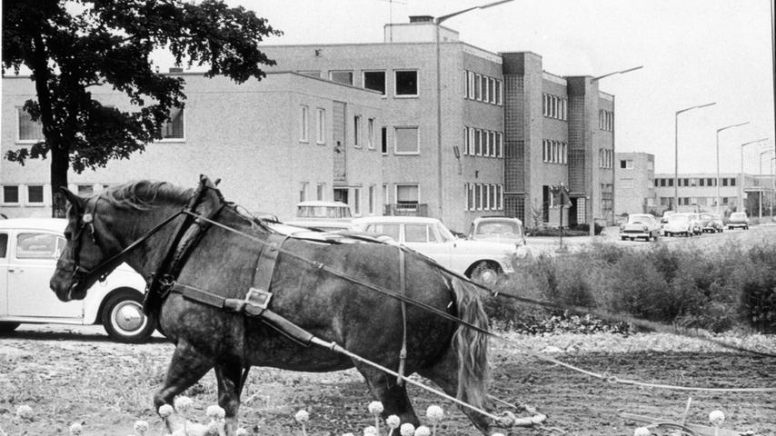 Wiederaufbau, Wohnungs- und Gewerbebau gingen in Nürnberg Hand in Hand. Gerardi dokumentierte alles und erhielt v.a. für ihre Bilder zum Wiederaufbau 1975 die Bürgermedaille der Stadt. Aktuelles so einfangen, dass es morgen als Geschichtsdokument taugt, das gelang der Fotografin auch mit diesem Ackergaul vor dem Industriegelände in der Kilianstraße. Zwischen Kleinreuth und Großreuth begegneten sich 1964 Tradition und Moderne.