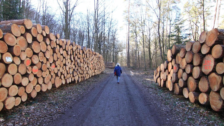 Auch wenn das Holz auf den ersten Blick gesund wirkt: Schädlinge haben zahlreiche Kiefern — hier in der Nähe der Alten Veste — zum Absterben gebracht. In den kommenden Monaten werden wohl noch mehr geschwächte Bäume endgültig kapitulieren, fürchten die Experten.