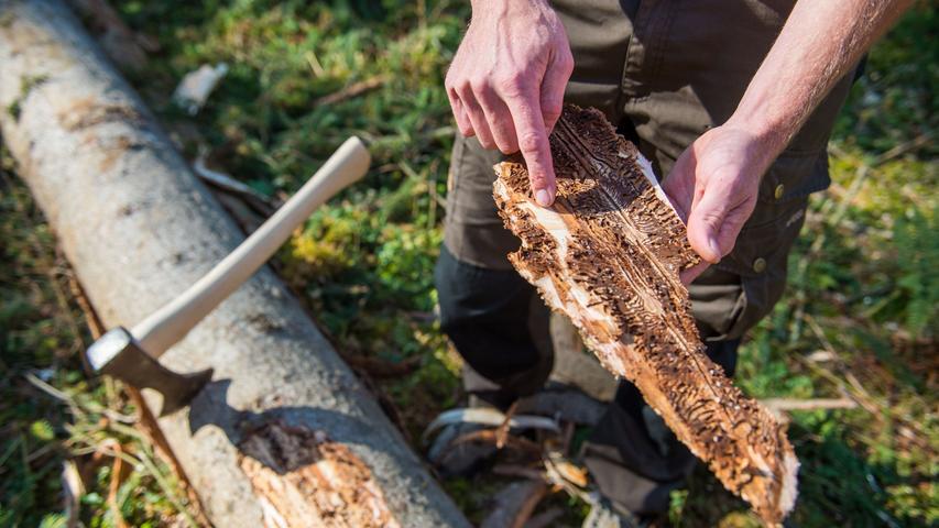 Er ist bekannt und gefürchtet: Der Borkenkäfer. Dabei ist Borkenkäfer nicht gleich Borkenkäfer. Es gibt tatsächlich über 150 verschiedene Arten. Bekannt ist zum Beispiel der Buchdrucker. Das Insekt dringt über die Rinde in den Baum ein. Dort legt er seine Brutgänge ab und vermehrt sich sprunghaft weiter. Die beste Methode, um dem Borkenkäfer Herr zu werden, ist befallene Bäume zu fällen, um so die restliche Population zu schützen. Borkenkäferbefall ist auch immer ein Zeichen für ein Ungleichgewicht. So bedient sich der Wirt bei trockenen und schwachen Bäume, da diese angreifbarer sind. Vor allem Kiefern und Fichten sind betroffen.