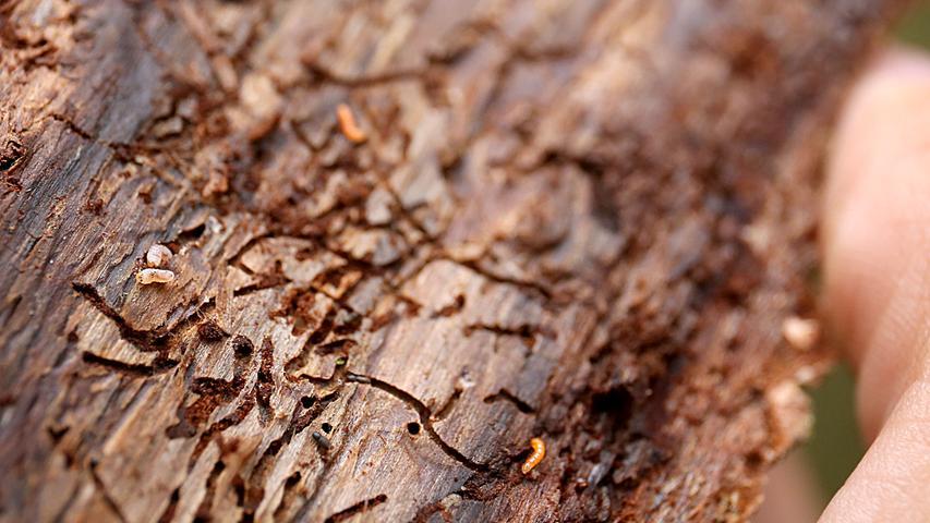 Meistens betrifft Borkenkäferbefall eher die Waldwirtschaft, aber das Insekt kann auch Hobbygärtnern zu schaffen machen. Als Zersetzer kann er zum Beispiel in gelagertes Holz eintreten. Am Baum erkennt ihn zum Beispiel an den etwa drei bis fünf Millimeter großen Eintrittspforten in der Rinde des Baumes. Die Bohrgänge in der Rinde können ebenfalls ein Indiz sein. Am besten geschützt sind gesunde, fitte Bäume. Sie können unterdes in der Lage sein den Schädling selbst durch Harz auszurotten. Die zunehmende Trockenheit der Wälder wird folglich zur Bedrohung.