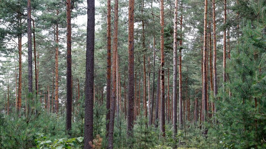 Der Kiefernwald kann durch den sogenannten Kiefernspanner bedroht werden. Dieses Insekt zählt zur Schmetterlingsart. Der Falter hat meist gelbliche Vorderflügel mit dunkelbrauner Spitzenhälfte und macht sich an den Nadeln der Kiefer zu schaffen. Der Kiefernspanner kann pro Jahr auf eine ganze Generation kommen, weswegen er sich gefährlich schnell im Wald ausbreiten kann.