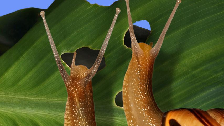 Im feuchten Sommer treiben Schnecken, oft Nacktschnecken, ihr Unwesen in den Gärten. Vor allem die sorgsam gehegten Salatköpfe und das Gemüse fallen den schleimigen Wesen zu Opfer. Bevor der eifrige Hobbygärtner nun allerdings zum Giftstoff greift, sollte man eines beachten: Schnecken gehören zum Ökosystem dazu und sind durchaus sinnvolle Bewohner des Gartens. Sie sind zum Beispiel Teil der Humusbildung, weil sie verwesende Pflanzenreste fressen und ausscheiden. Bessere Mittel gegen Schnecken sind zum Beispiel jene: Kaffeesatz auf die Erde, Schneckenzäune aus dem Baumarkt, ein