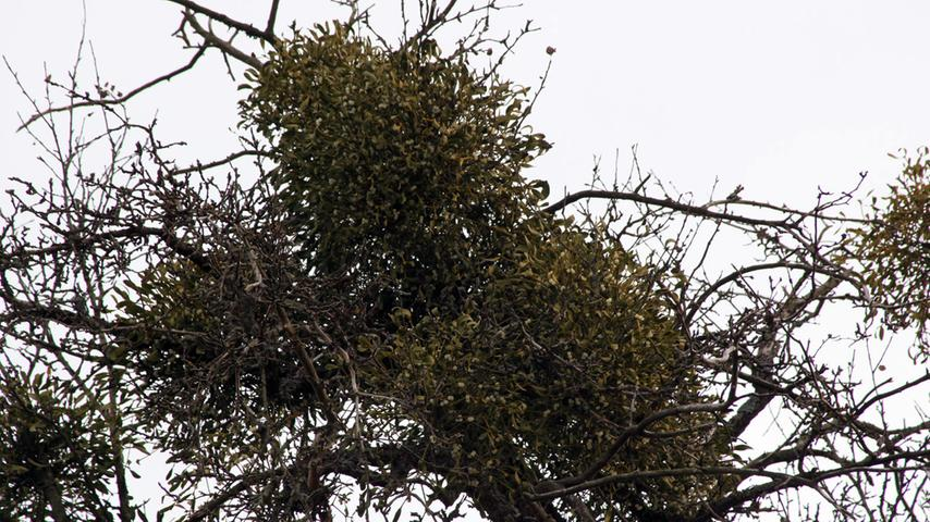 Für manche Heilpflanze, für andere Parasit: Die Mistel ist ein tückischer Baumbewohner. Sie haftete sich still und heimlich an einen Wirt, den Baum, und breitet sich von dort hartnäckig aus. Sie verbindet sich außerdem mit dem Wassersystem des Baumes. Bei starkem Befall können ganze Bäume absterben, die Früchte der Mistel sind für manche Tiere giftig. Manche Menschen schätzen die Mistel allerdings in der Naturheilkunde.