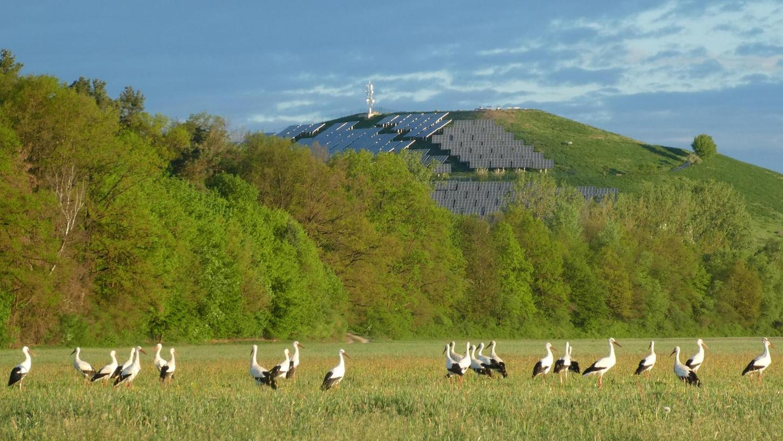 In den künstlich bewässerten Wiesen am Atzenhofer Solarberg ist der Tisch für die Großvögel reich gedeckt. Das spricht sich offensichtlich schnell herum.