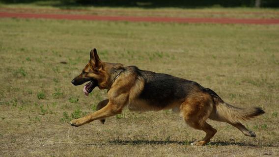 Schwabacher Nachbarschaft in Aufruhr: Polizei muss entwischten Hund einfangen
