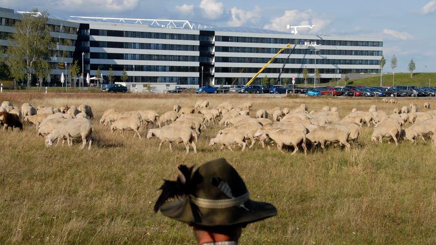 Foto: Matthias Kronau..Motiv: Die Schafsherde des Vachers Luck Schwarz auf der Herzo Base Herzogenaurach im September 2012 / adidas Gebäude