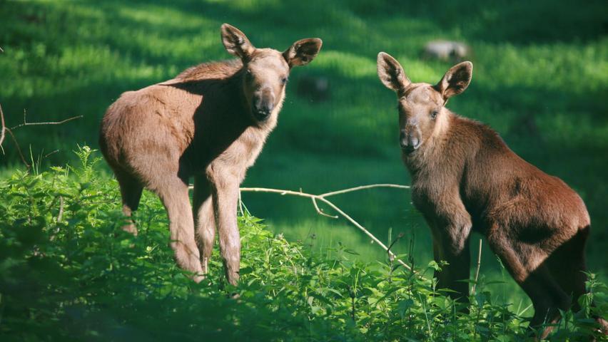 Die Elch-Zwillinge hat Elch-Mama Lotta Mitte Mai zur Welt gebracht. Mehr über den süßen Nachwuchs erfahren Sie hier.
