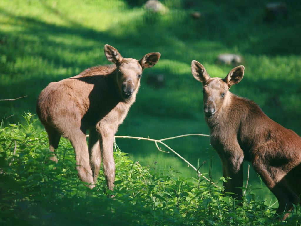 Erst zwei Wochen alt: Die beiden neue Elch-Zwillinge im Wildpark Hundshaupten.