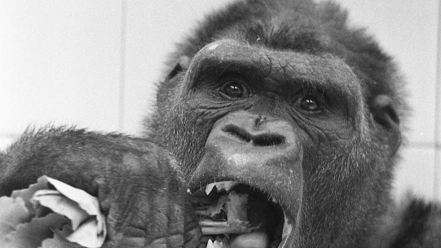 """Mit sichtlichem Appetit verspeist """"Schorsch"""" einen Kohlrabi. Auch die Besucher des Tiergartens freuen sich, daß es dem Gorilla wieder schmeckt. Noch hat er über 20 Pfund """"aufzuholen""""."""