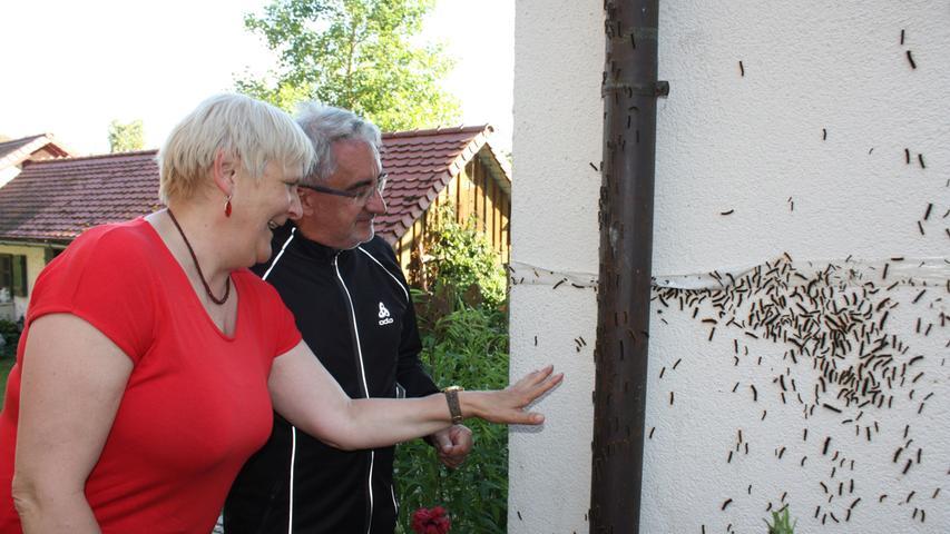 Plage in Gunzenhausen: Raupen des Schwammspinners auf dem Vormarsch