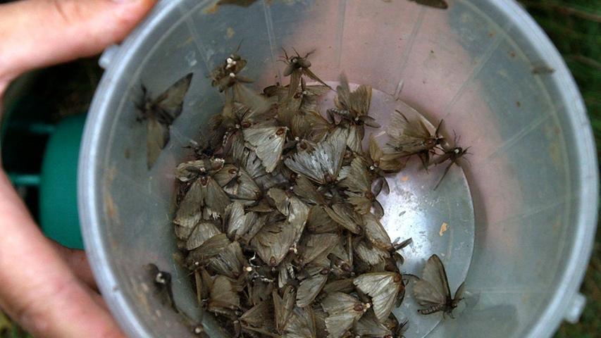 Im Sommer ein unscheinbarer Schmetterling, im Frühjahr als Raupe ein Schädling, der sich über die Baumkronen in Kiefernwäldern hermacht: die Nonne. Hier sitzen Nonnen-Männchen in einer mit Lockstoffen ausgestatteten Falle.