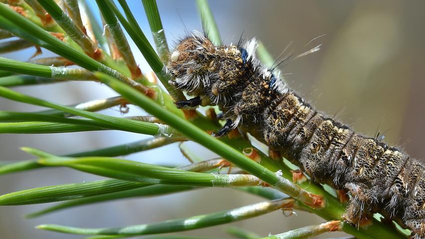 Nicht so bekannt wie der Eichenprozessionspsinner, aber einer der bedeutendsten Schädlinge: der Kiefernspinner.