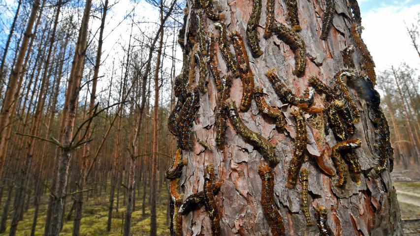 Unzählige Raupen des Kiefernspinners krabbeln hier am Stamm einer Kiefer empor. Dahinter ist der völlig kahl gefressene Wald zu sehen.