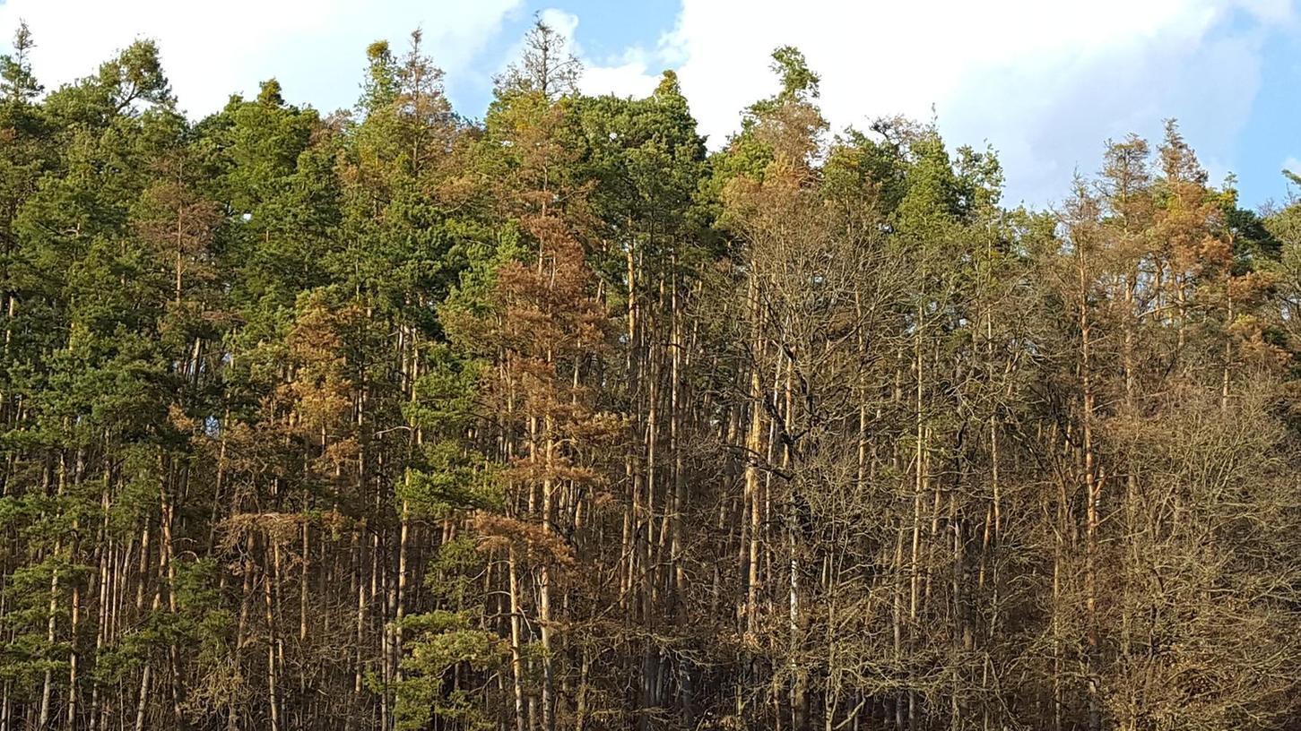 Alles andere als gesund sieht dieser Waldrand aus. Wo eigentlich sattes Grün hingehört, prägt das Braun abgestorbener Äste und ganzer Bäume die Szene. Die Folgen der Trockenheit werden zunehmend deutlicher.