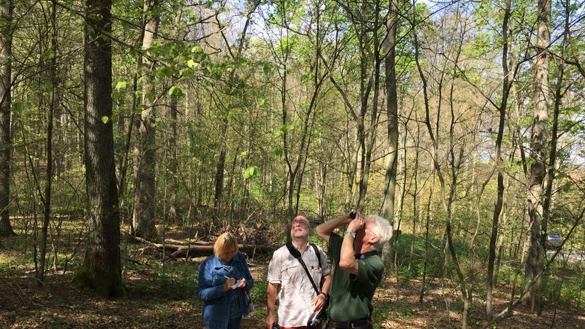 Prüfender Blick nach oben: Der Gunzenhäuser Forstamtsleiter Jürgen Stemmer und Dr. Hannes Lemme von der Landesanstalt für Wald und Forstwirtschaft blicken sorgenvoll nach oben. Noch können sie nicht sagen, welche Auswirkungen der Kahlfraß auf die Bäume im Burgstallwald Gunzenhausen haben wird. Mit dabei auch Dr. Gabriela Lobinger, die die Puppen des Schwammspinners unter die Lupe nimmt.