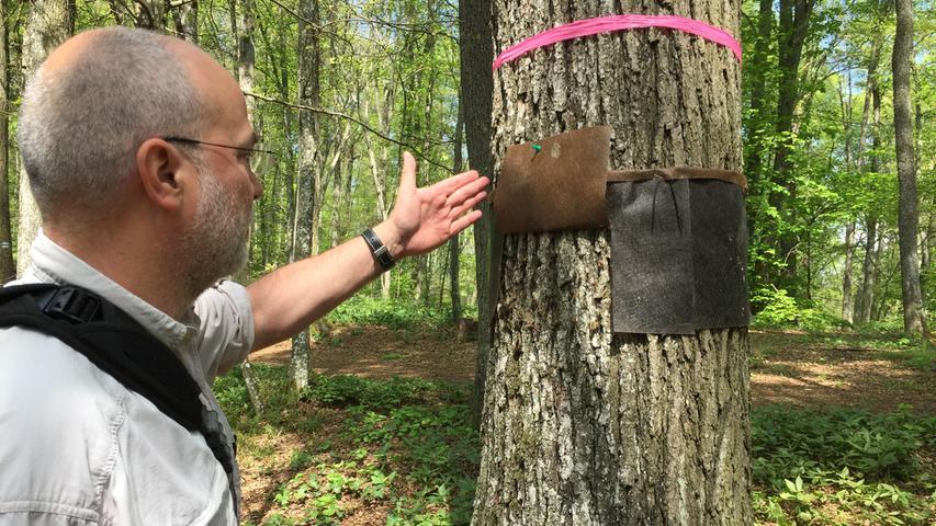 Schwammspinner kriechen gerne ins Dunkle, zumal, wenn sie sich verpuppen wollen. Deshalb hängen an bestimmten Bäumen diese Lappen. Ein Blick darunter gibt Dr. Hannes Lemme von der Landesanstalt für Wald und Forstwirtschaft Freising Aufschluss über den aktuellen Stand.