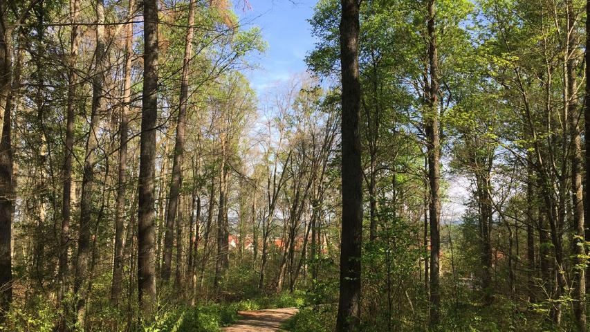 Der Burgstallwald in Gunzenhausen erholt sich langsam von der Invasion der Schwammspinnerraupen. Noch vor kurzem war hier alles kahl gefressen. Wie viele Bäume aber tatsächlich dauerhafte Schäden davontragen, das kann noch nicht gesagt werden.