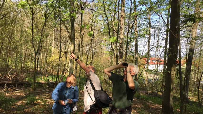 Prüfender Blick nach oben: Der Gunzenhäuser Forstamtsleiter Jürgen Stemmer, Dr. Hannes Lemme und Dr. Gabriela Lobinger von der Landesanstalt für Wald und Forstwirtschaft blicken sorgenvoll nach oben. Noch können sie nicht sagen, welche Auswirkungen der Kahlfraß auf die Bäume im Gunzenhäuser Burgstallwald haben wird.